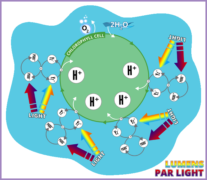 Photosynthetic Catalytic Cycle