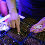 How We Germinate Seeds Indoors